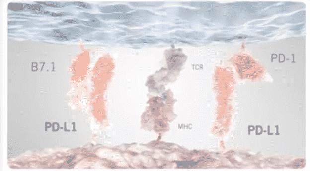 Lähde: tämä on kuvakaappaus sarjan edellisessä postauksessa olevasta Rochen PD-L1 videosta (missä lääkkeellä vaikutetaan solujen toimintaan). Ja Adaptimmune Therapeutics siis muokkaa tuota T-solun sisältämää TCR-proteiinia (siis muuttaa sitä itse solua).