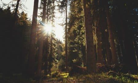 metsä puusto havupuut sellu metsätalous