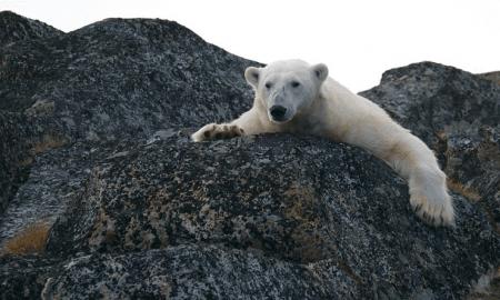 ilmastomuutos jääkarhu pohjoisnapa ilmaston lämpeneminen ympäristö