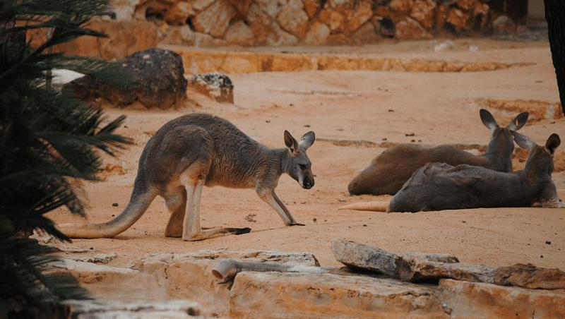 Kenguru Australia