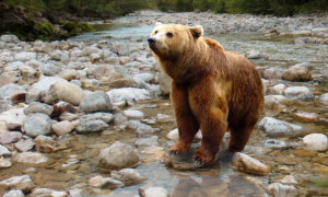 karhu verokarhu verotus luonto eläin peto talous