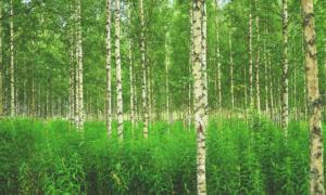 metsä koivumetsä koivu luonto talous