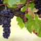 viinirypäleet tuotto osingot kasvu sijoittaminen