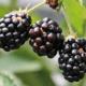 hedelmät osingot tuotto sijoittaminen osinko