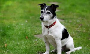 terrieri koira lemmikki lemmikkieläin