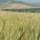 vilja pelto viljely maanviljely talous