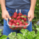 mansikat mansikanpoiminta marjatila talous