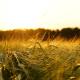vilja ohra viljapelto maanviljely maatalous